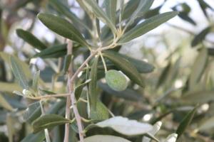 Términos y palabras singulares en el cultivo del olivo