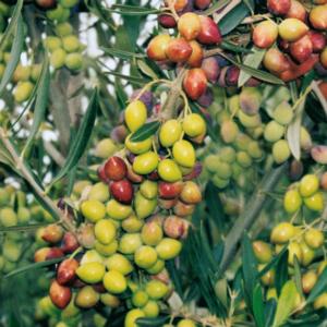 ¿Conoces la variedad arbosana?